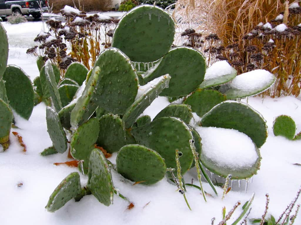cactus-under-ice